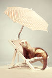 Lovely ferret portrait on beach chair in studio. Ferret portrait on beach chair in studio Royalty Free Stock Photography