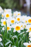 Lovely field with bright yellow and white daffodils Narcissus. Shallow dof and natural light royalty free stock photos
