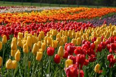 Lovely field of tulips in Holland, Michigan during the Tulip Time Festival. A spring highlight in Western Michigan- A field of tulips on Windmill Island in the stock photos
