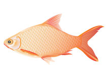 Lovely  fish Royalty Free Stock Image