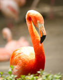 Lovely Flamingo Royalty Free Stock Images