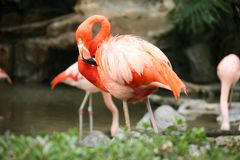 Lovely Flamingo Royalty Free Stock Photography