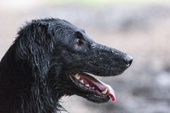 Lovely Flat Coated Retriever. Very young Flat Coated Retriever stock images