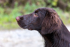 Lovely Flat Coated Retriever. Very young Flat Coated Retriever stock photo