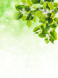 Lovely flowering tree Royalty Free Stock Photo
