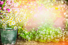 Lovely flowers garden. Summer garden nature background with beautiful flowerbed, bucket with daisies, sun light and bokeh Royalty Free Stock Photos
