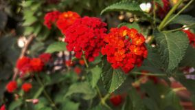 Lovely flowers red color in gardan Royalty Free Stock Photography