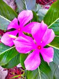 Lovely flowers. Two purple bloom  in the morning Stock Photography