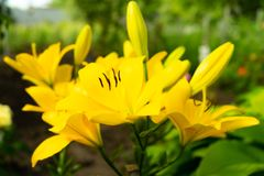 Lovely flowers of yellow lilies growing in the garden. stock photo