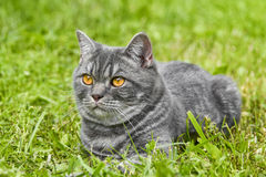 Lovely fluffy British cat in a garden stock photos