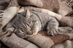 Lovely fluffy cat sleeps in plaid stock image