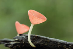Lovely forest wild mushroom (Pink Fungi cup) Stock Photography