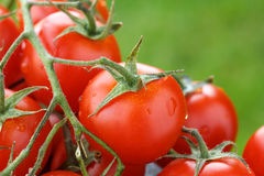 Lovely fresh small red tomatoes on the vine Royalty Free Stock Photos