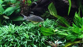A lovely freshwater aquarium with live plants royalty free stock photography