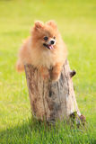 Lovely and funny relaxing emotion of pomeranian puppy dog lying Stock Images