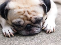 Lovely funny white cute fat pug dog portraits close up. Relaxing making funny face selective focus under natural sunlight blur home environment background royalty free stock photography