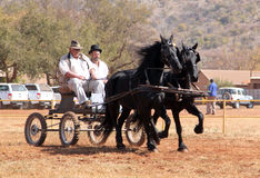 Lovely galloping black Friesian horses pulling cart. Stock Images