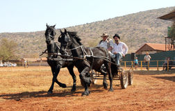 Lovely galloping black Friesian horses pulling cart. Royalty Free Stock Images