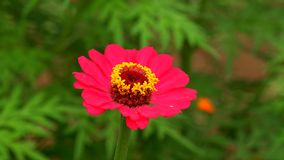 Lovely garden flower of zinnia peruvian royalty free stock image