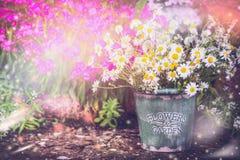 Lovely garden. Flowerbed in summer garden with bucket and daisies bunch. gardening background, outdoor. Stock Photography