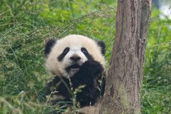Lovely Giant Panda Royalty Free Stock Image
