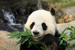 Lovely giant panda eating bamboo leaves Stock Photos
