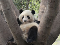 Lovely giant panda on the tree Stock Photography