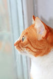 Lovely ginger cat Stock Image