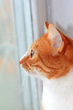 Lovely ginger cat Royalty Free Stock Images