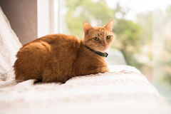 Lovely ginger cat on a sofa by the window Royalty Free Stock Photo