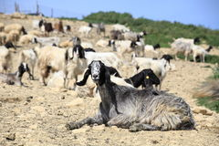 Lovely goats Royalty Free Stock Images