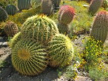 Lovely golden barrel cactus Stock Photos