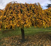 Lovely umbrella-like golden leafed tree. Colorful yellow and gold, long leafed tree shrub on Bletchley Park grounds in autumn royalty free stock photos