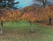 Lovely golden leafed trees in Bletchley Park. Colorful green, yellow and gold leafed trees on Bletchley Park grounds on a lovely autumn day with blue skies stock image