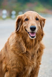 Lovely golden retriever Royalty Free Stock Photos
