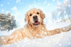 Lovely golden retriever playing Stock Images