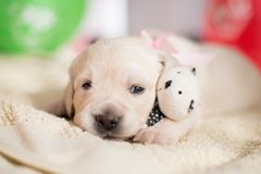 Lovely golden retriever puppy lying with little teddy bear. Close-up portrait of cute Lovely golden retriever puppy lying with little teddy bear stock photos