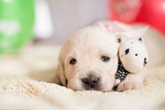 Lovely golden retriever puppy lying with little teddy bear. Portrait of Lovely golden retriever puppy lying with little teddy bear royalty free stock image