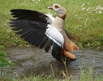 Lovely goose opening his wings in a pond stock photography