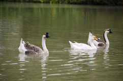 Lovely Goose Stock Images