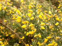 Lovely Gorse looking absolutely stunning and golden Stock Images