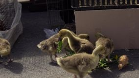 Goslings eat dandelion leaves on the farm market. Lovely goslings eat dandelion leaves. The chicks tear off pieces from the delicate leaves next to the stock video