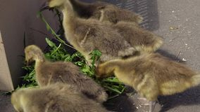 Lovely goslings eat dandelion leaves. The chicks tear off pieces from the delicate leaves next to the cardboard box stock footage