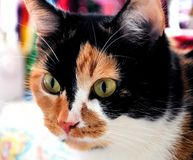 Calico cat with pretty eyes and color. Lovely Gracie, she is a beautiful female Calico cat. She has three distinct colors royalty free stock photography