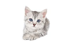 Lovely gray kitten on a white background Royalty Free Stock Photo