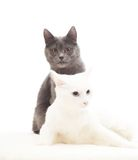 Lovely gray and white cats Royalty Free Stock Photo