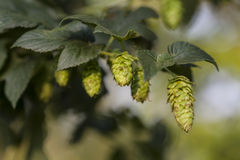 Lovely Green Hops. Hop plant close up growing on a Hop farm. Fresh and Ripe Hops ready for harvesting. Beer production ingredient. Brewing concept. Fresh Hop Stock Photos