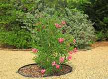 Lovely green plant with pink flowers. Nice garden design. Aruba nature Stock Photos