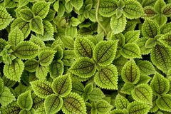 Lovely green solenostemon. Leaves with furry surface Stock Image