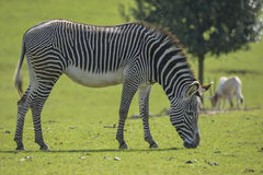 Lovely Grevy`s Zebra Equus Grevyi grazing in lush green clearing Royalty Free Stock Photography